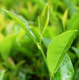 Как избавиться от целлюлита зеленый чай